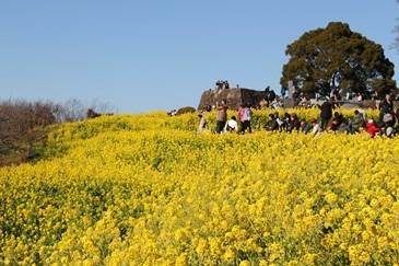1/22 菜の花畑と展望台  吾妻山公園