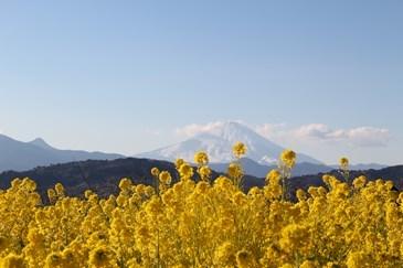 1/22 菜の花越しに見える雪の富士山  吾妻山公園