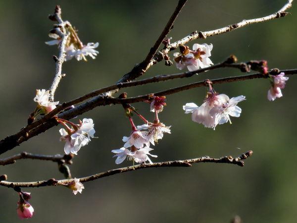 十月桜20161220-2-a