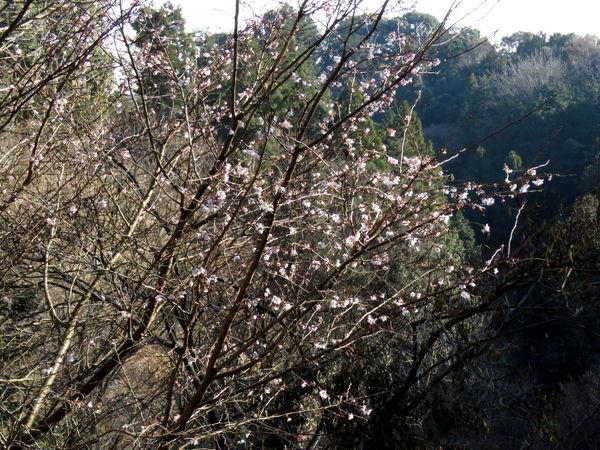 十月桜20161220-1-a
