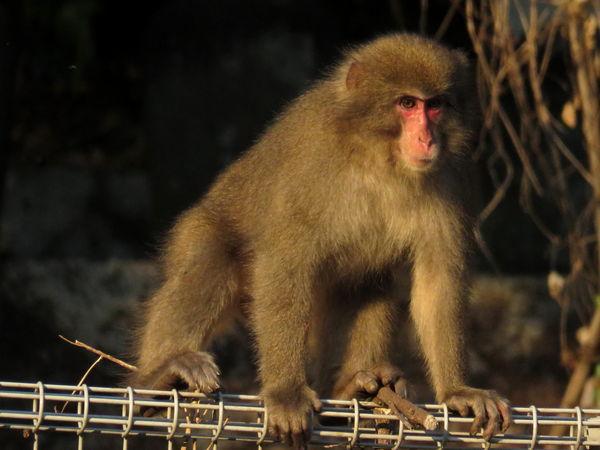猿20161220-1-a