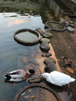 鴨とアヒル
