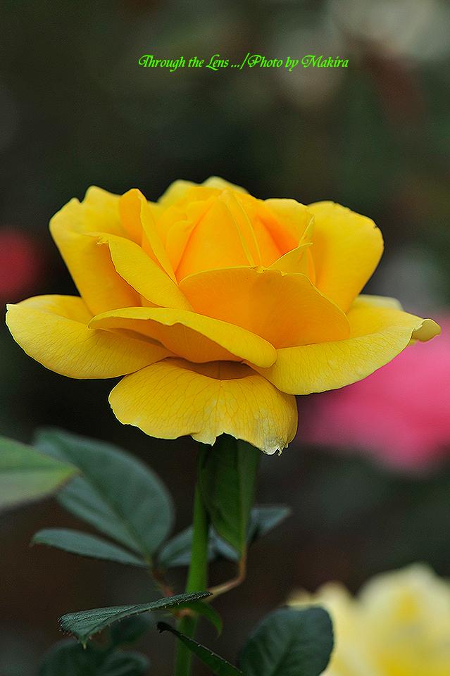秋薔薇'ミケランジェロ'1
