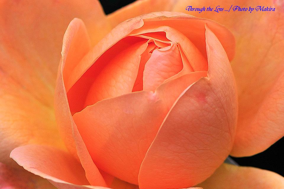 秋薔薇11