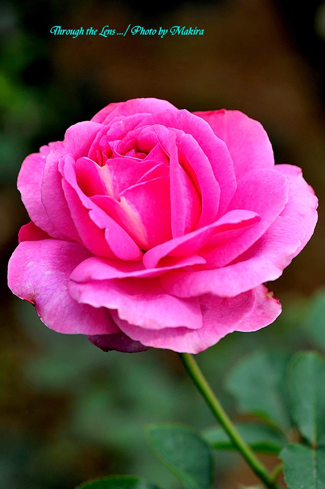 秋薔薇12