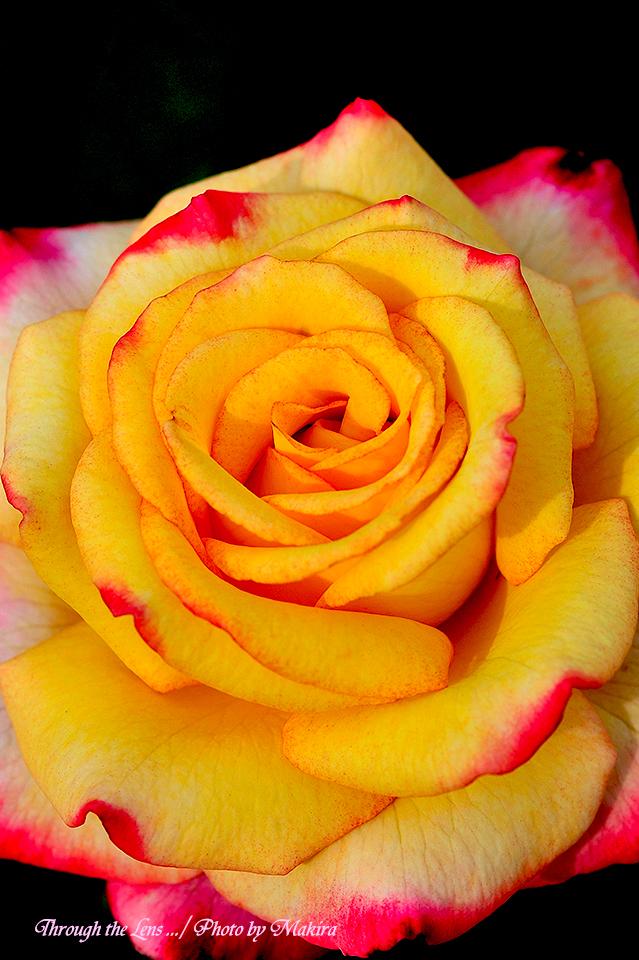 秋薔薇15