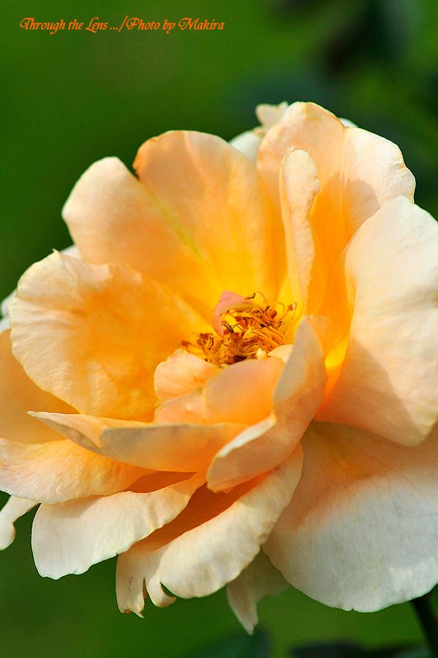 秋薔薇17