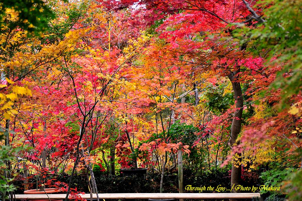 小林槭樹園1