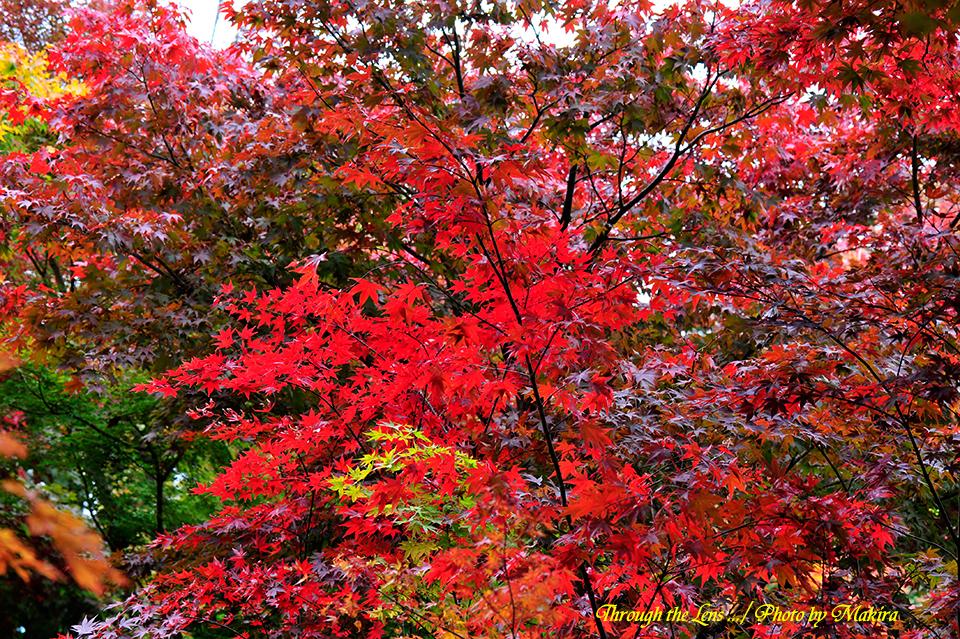 小林槭樹園2