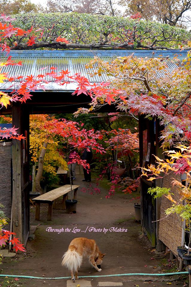 小林槭樹園入口L1