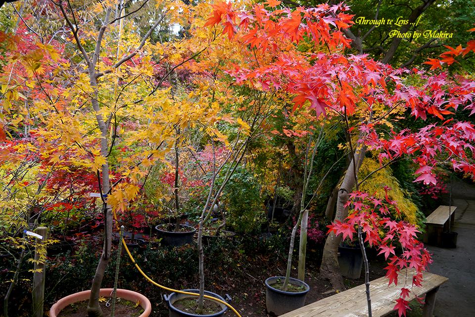 小林槭樹園L4