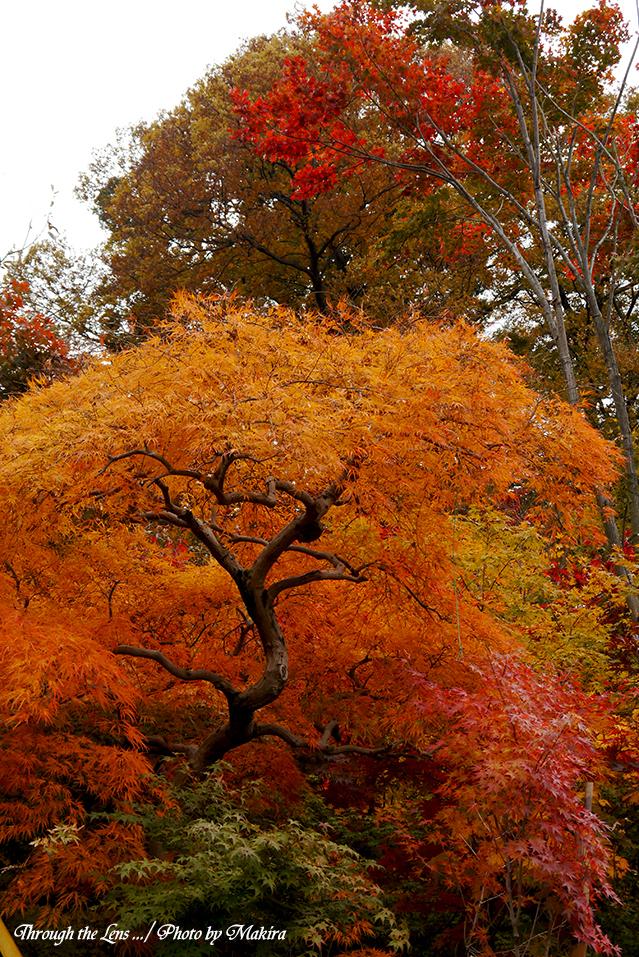 小林槭樹園L5