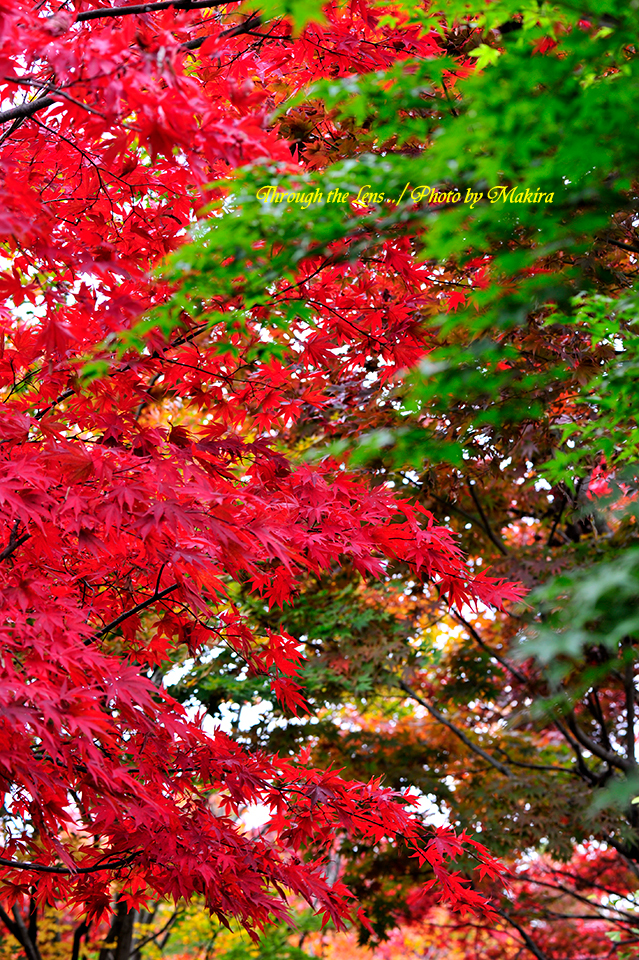 小林槭樹園9