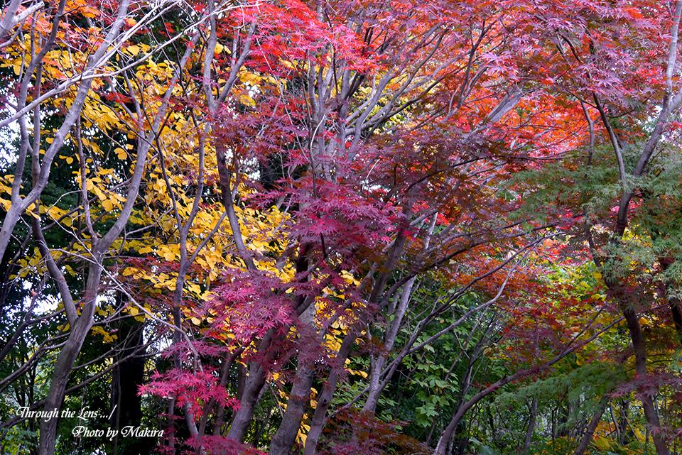 小林槭樹園L10