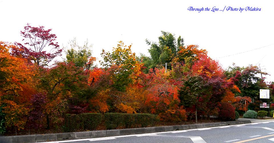 小林槭樹園L15