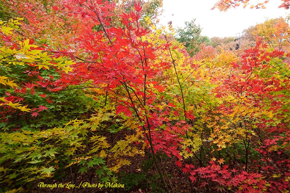 小林槭樹園XP12