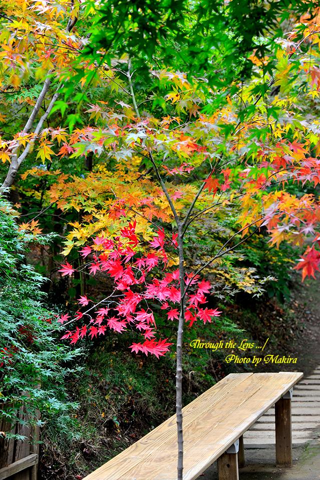 紅(黄)葉1