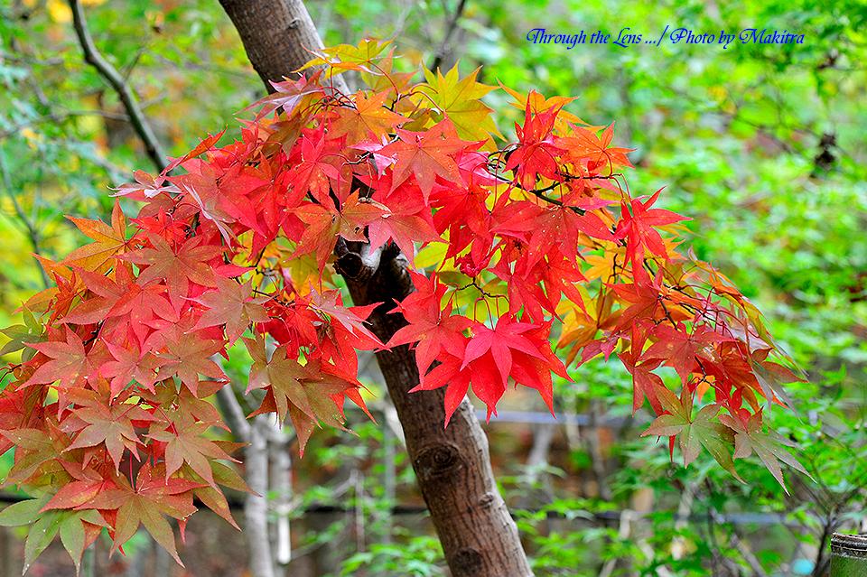 紅(黄)葉2
