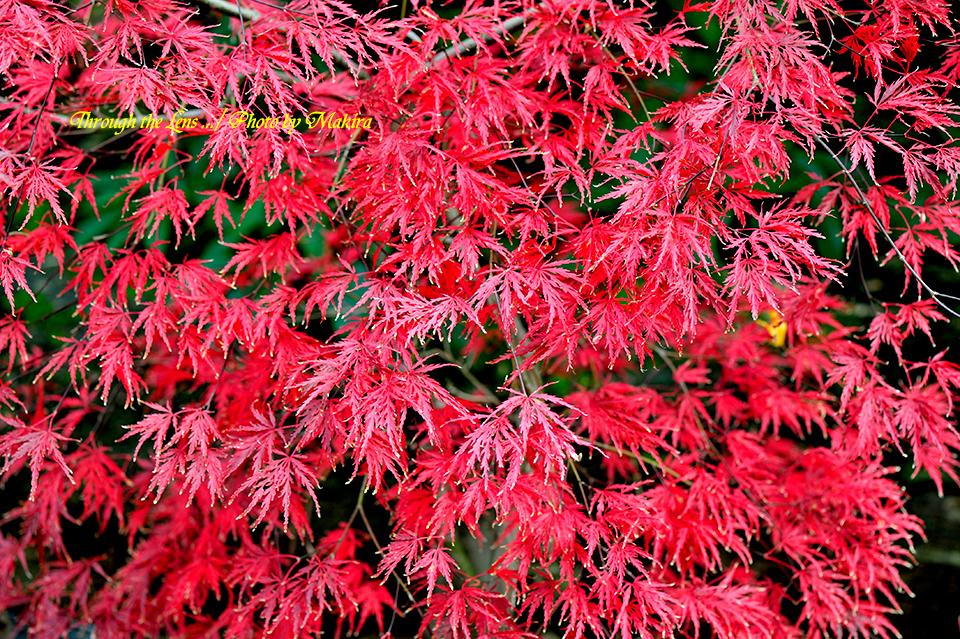 紅(黄)葉6