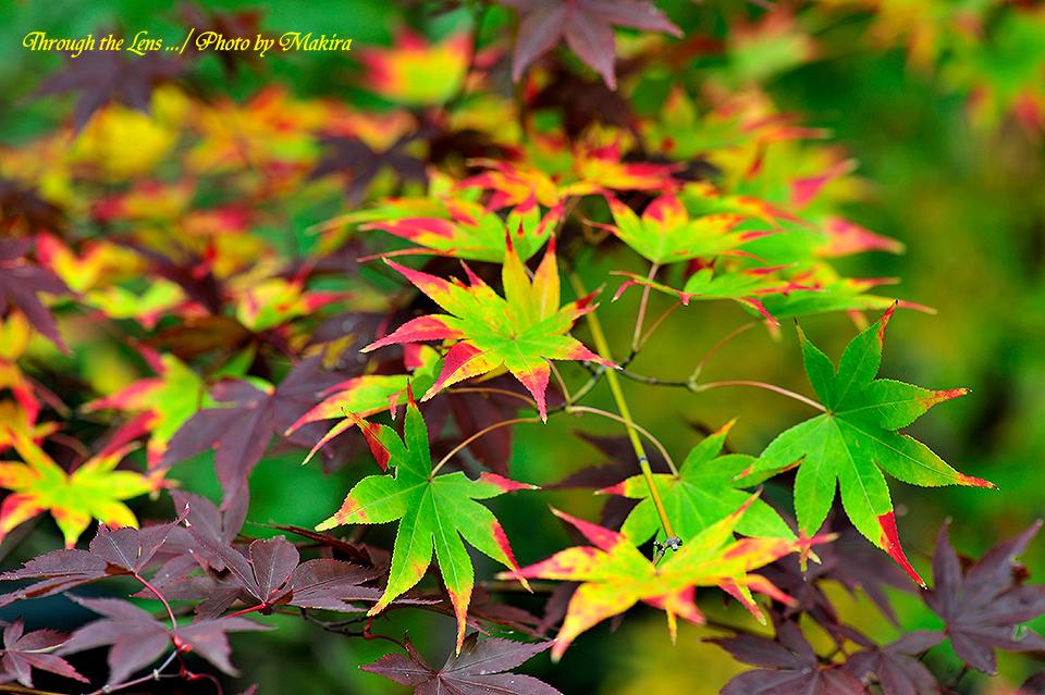 紅(黄)葉7
