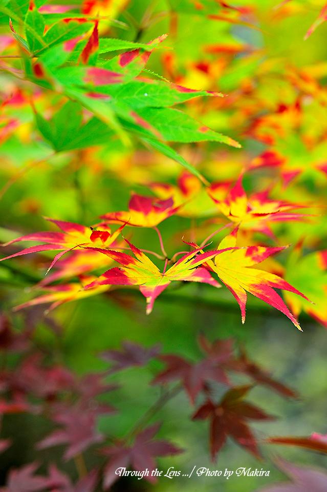 紅(黄)葉8