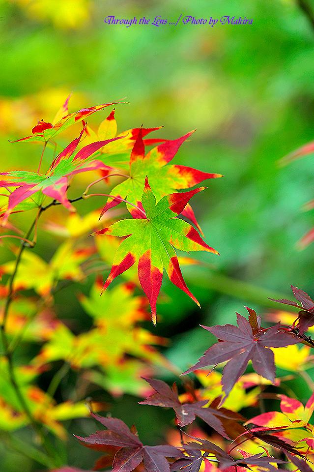 紅(黄)葉9