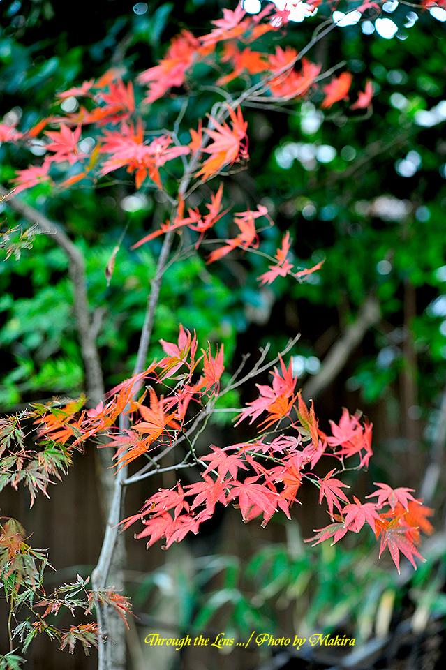 紅(黄)葉12