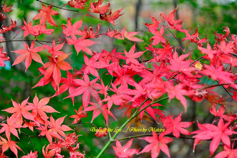 紅(黄)葉13