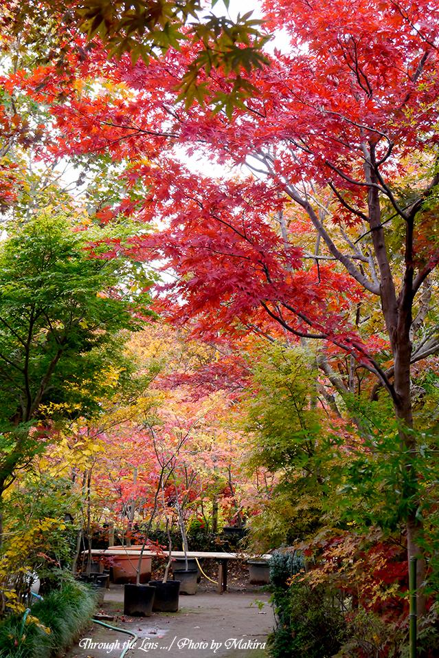 小林槭樹園L14