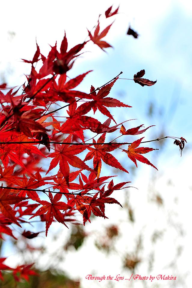イロハモミジ花泉錦(カセンニシキ)3
