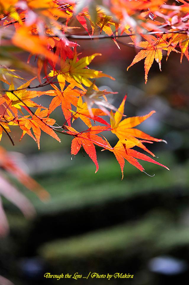 イロハモミジ錦紅葉(ニシキモミジ)3