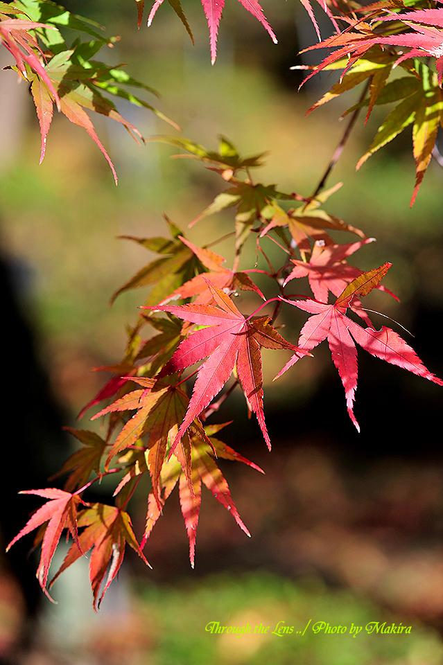イロハモミジ錦紅葉(ニシキモミジ)2