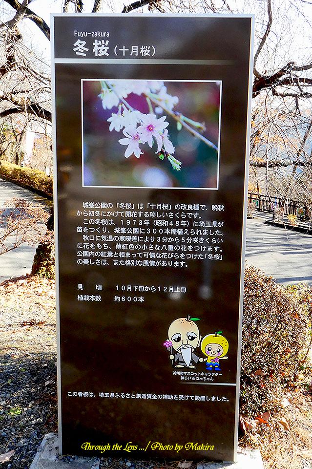 冬桜(十月桜)案内図TZ1