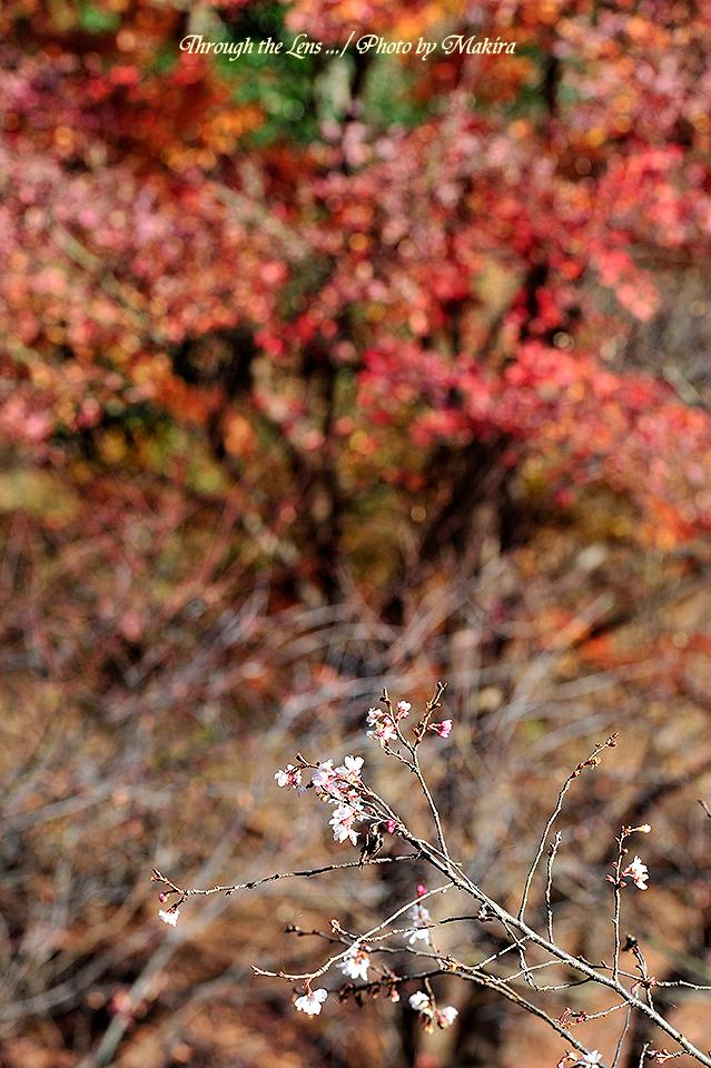 桜と紅葉3