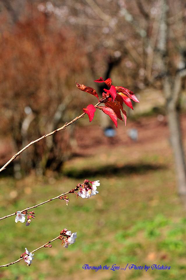 桜と紅葉4
