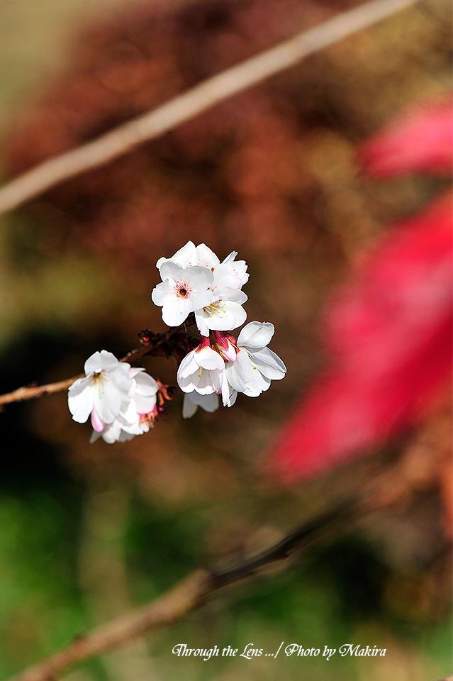 桜と紅葉5