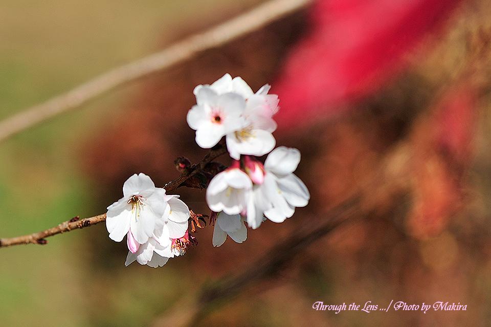 桜と紅葉6