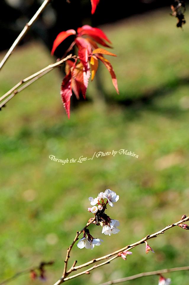 桜と紅葉7