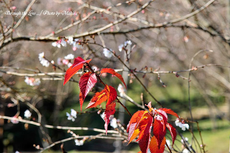 桜と紅葉8
