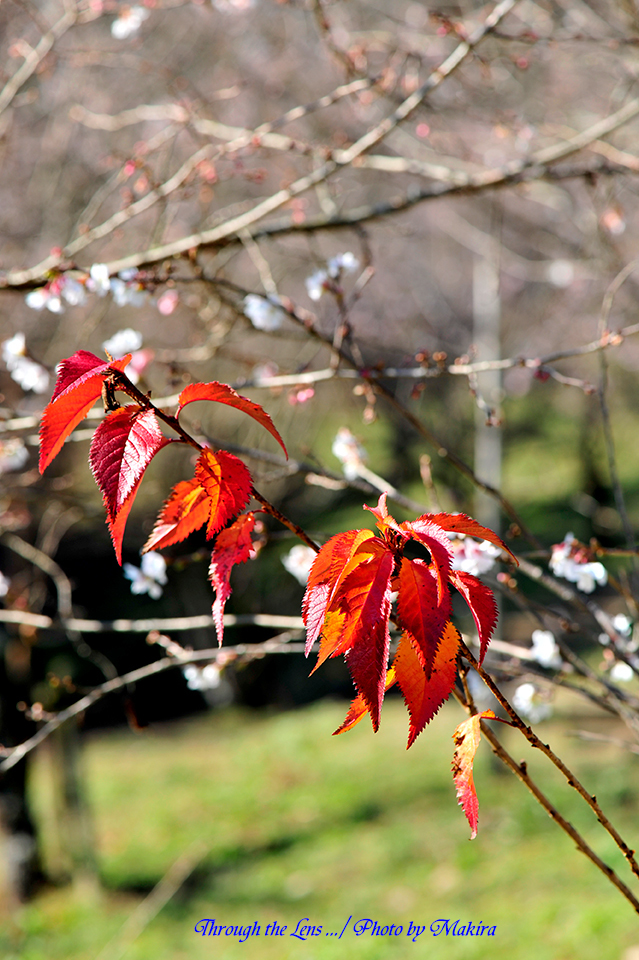 桜と紅葉9