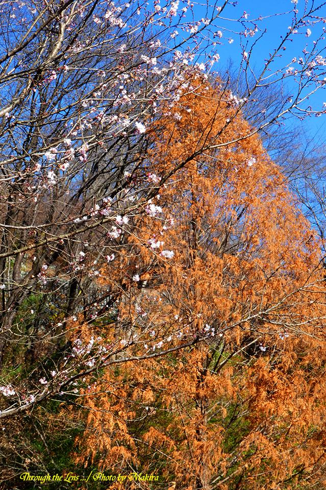 桜と紅葉TZ12