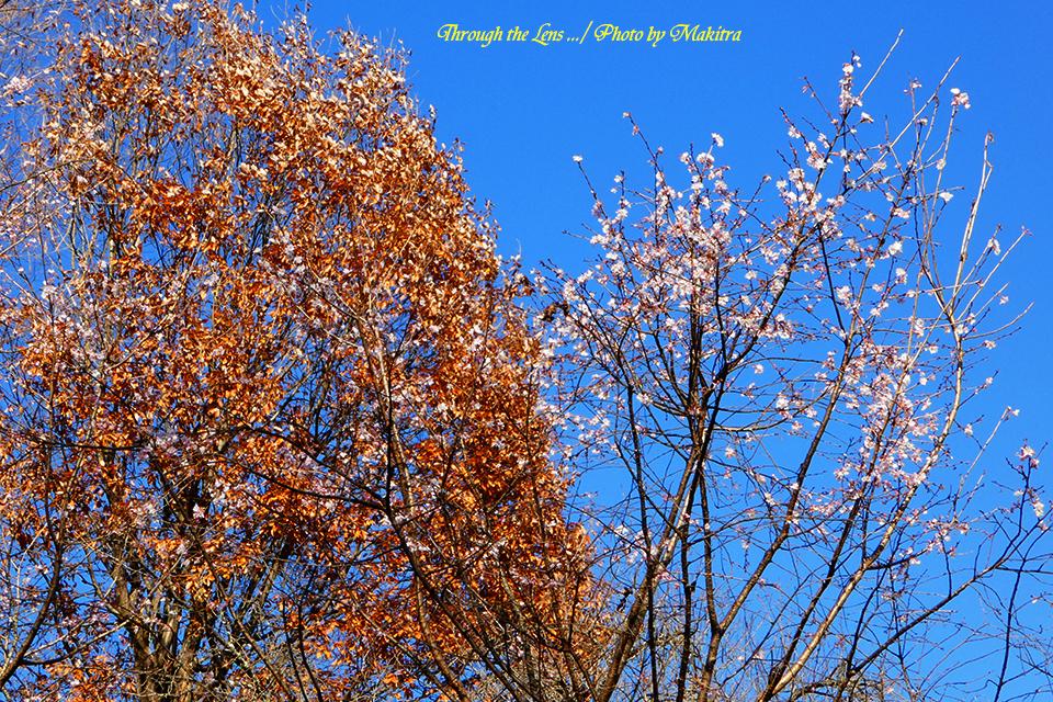 桜と紅葉TZ13