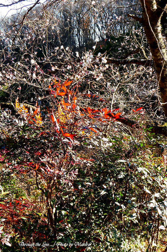 桜と紅葉TZ1