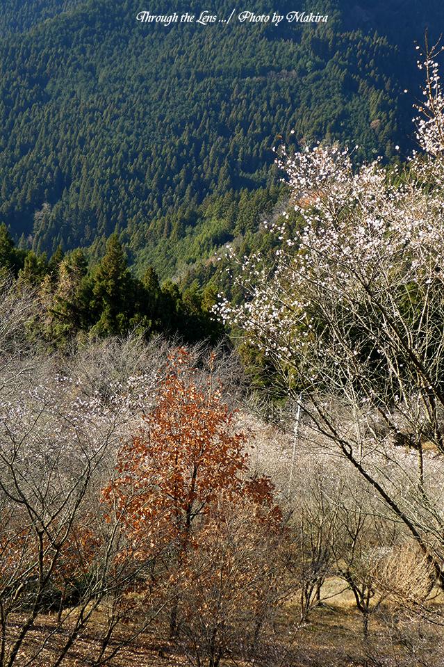 桜と紅葉TZ2