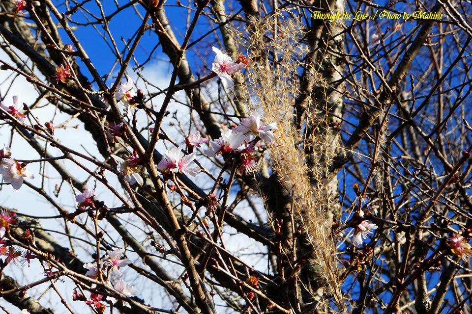 桜とススキTZ1