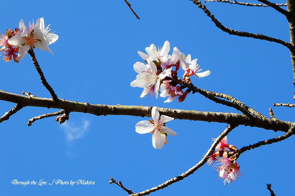 冬桜TZ5