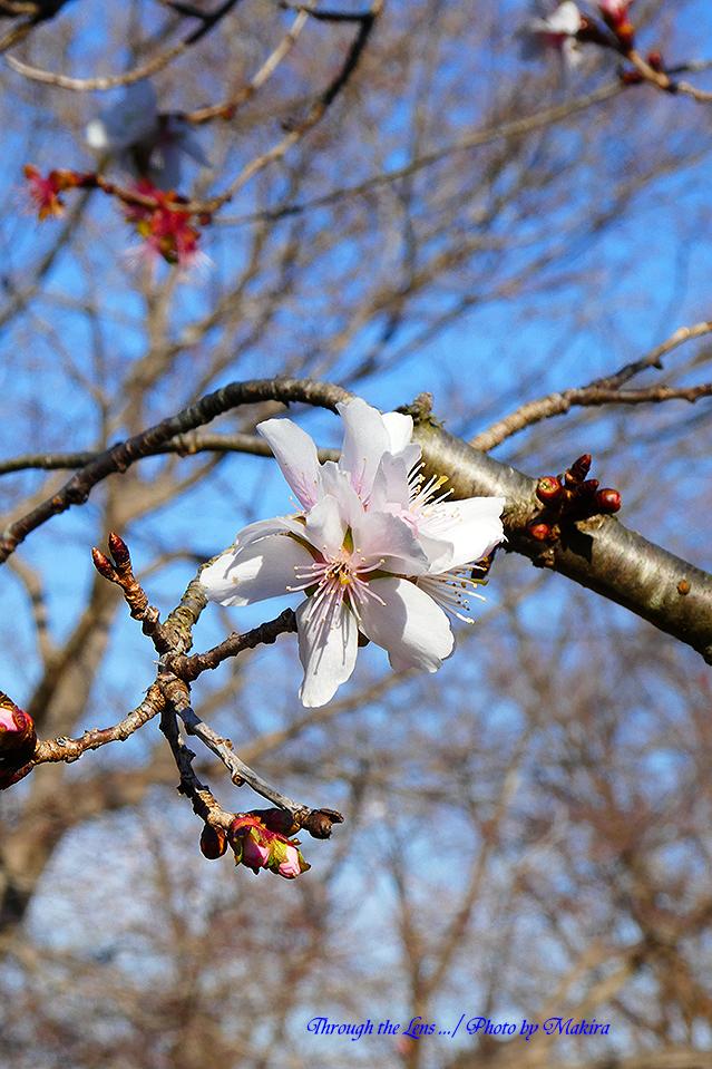 冬桜TZ1