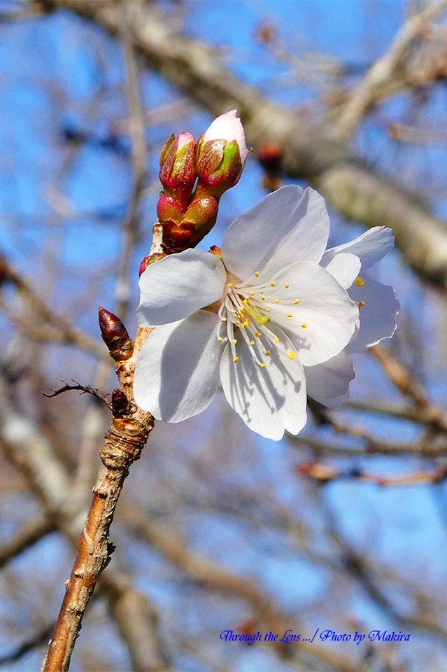 冬桜TZ2