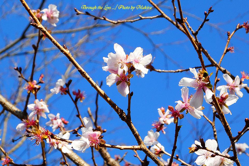 冬桜TZ3
