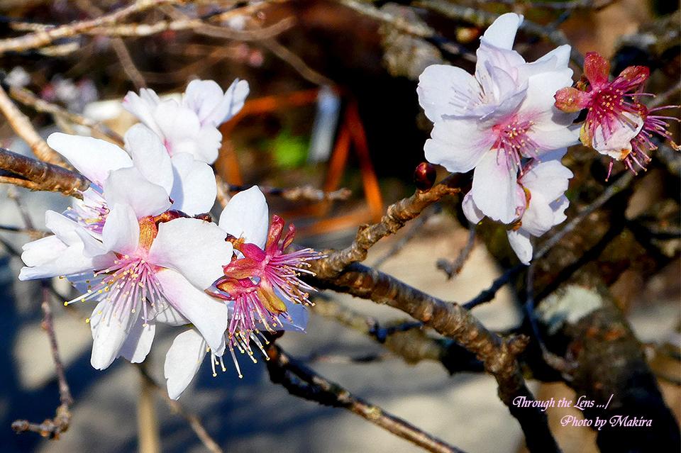 冬桜TZ4